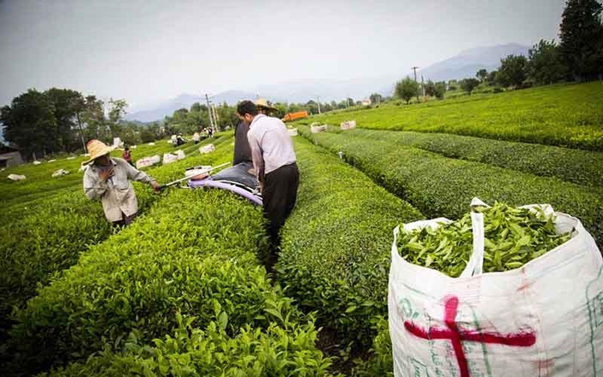 صادرات ۱۰ هزار تن چای با قیمت کمتر از یک دلار!