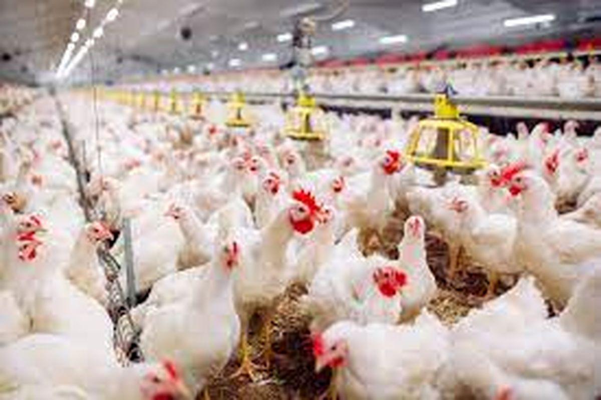 قیمت هر مرغ تخمگذار ۲.۵ برابر شده است